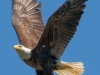 Bald Eagle #2a_edited-1