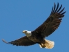 Bald Eagle #3_edited-1