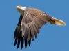 Bald Eagle #6_edited-1
