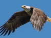 Bald Eagle #7_edited-1