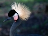 Black-Crowned-Crane_edited-1