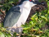 Black Crowned Night Heron #2_edited-1