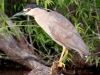 Black Crowned Night Heron_edited-1