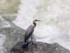Blue Heron at Great Falls