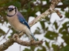 Blue Jay_edited-1.jpg