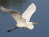 Egret in Flight #3