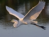 Egret in Flight #4.jpg
