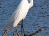 Great Egret #2_edited-1