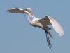 Great Egret Heading to the Nest