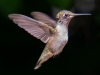 Hummingbird-1-08-17-2020