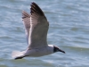 Laughing Gull #2_edited-1