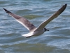 Laughing Gull #3_edited-1