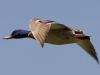 Mallard in Flight.jpg