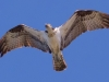 Osprey at Pelican Cove #4