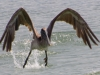 Pelican Lifting Off.jpg