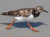 Ruddy-Turnstone_edited-1