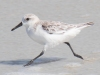 Sanderling-on-the-Run_edited-1