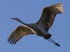 Sandhill Crane in Flight #2