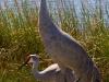 Sandhill Cranes_edited-1