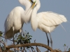 Two Egrets on Nest
