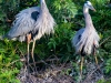 Two-Great-Blue-Herons-and-Chick-2
