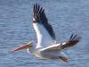 White Pelican #4