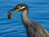 heron-with-crab_edited-1