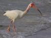 ibis-2_edited-1