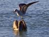 pelican-gull