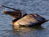 pelican-with-fish-2