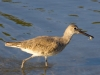 willet-with-crab