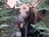 Moose #2_edited-2