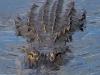 Alligator #7