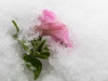 Flower in Ice