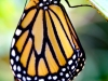 Monarch Butterfly 09-02-2015 #4_edited-1
