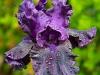 Purple-Iris-05-06-2020