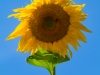 Sun Flower & Bee