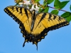 Swallowtail-Butterfly_edited-1