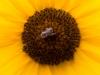 Taos Bee