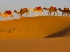 Camels on the Sahara #2