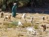 Moroccan-Goat-Herder