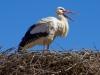 Stork on Nest
