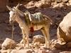 petra-mule
