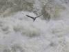 Blue Heron at Great Falls #2