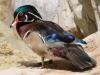 Woodchuck Duck