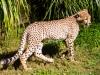 cheetah-cub-1