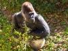great-ape-1