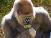 great-ape-2